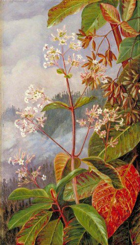Marianne North - Foliage, Flowers and Seed-Vessels of a Peruvian Bark Tree