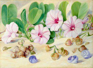 Marianne North - A Common Plant on Sandy Sea-Shores in the Tropics