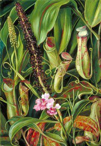 Marianne North - Foliage, Pitchers and Flowers of a Bornean Pitcher Plant, and an Orchid