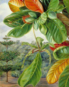 Marianne North - Indian Almond